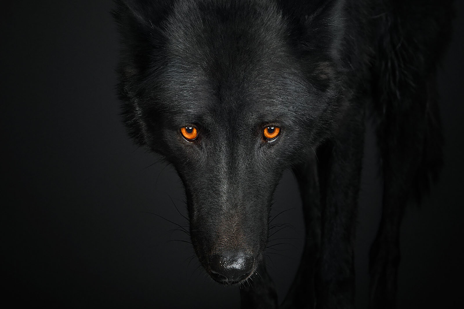 Humans Are Like Wolves